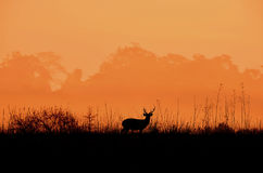 Deer in the meadow A black silhouette. Stock Photo