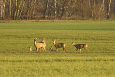 Deer. In the meadow, came out of the forest to graze Royalty Free Stock Photography