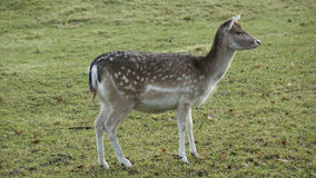 Deer in the meadow Stock Images