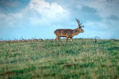 Deer in the meadow Royalty Free Stock Photos