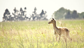 Deer on the meadow Stock Images