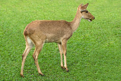 Deer in the meadow Stock Photography