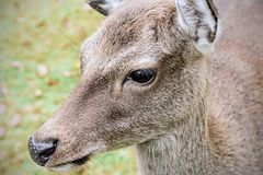Deer on a meadow Stock Images