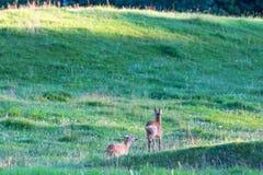 Deer in a meadow. Deer in rut chasing each other in the meadow Royalty Free Stock Photos