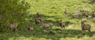 Deer in Meadow. Several Deer feeding in meadow. Alert and Looking stock images
