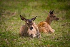 Deer on meadow standing and watching antlers stock photo