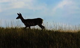 Deer in the meadow at sunset Stock Photo
