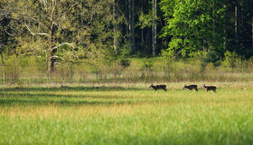 Deer in meadow. Stock Photography