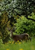 Deer on the meadow under a lush apple tree Royalty Free Stock Photography
