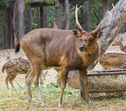 Deer in the meadow at zoo Stock Photography