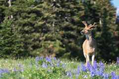 Deer at Meadows of Olympic National Park stock photo