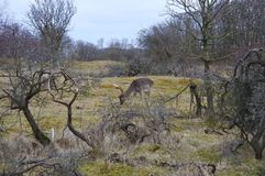 A deer. In the middel of the Amsterdamse waterleidingduinen in The Netherlands Stock Images