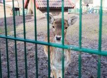 Deer in mini zoo, animal park, deer locked in a cage. Cute stock photography