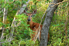 Deer at Minnewaska State Park. Reserve Upstate NY during summer time Stock Photo