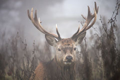 Deer in mist Royalty Free Stock Images