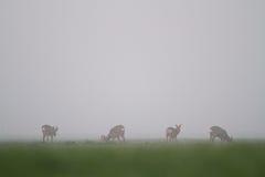 Deer in mist Royalty Free Stock Image