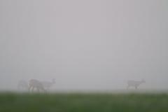 Deer in mist Stock Images