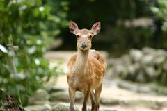 Deer at Miyajima Royalty Free Stock Images
