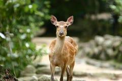 Deer at Miyajima Royalty Free Stock Images