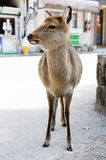 Deer in Miyajima Stock Photo