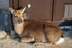 Deer in Miyajima Royalty Free Stock Photo