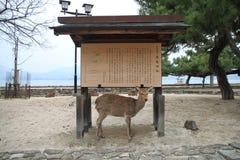 A deer on Miyajima island. Stock Photography
