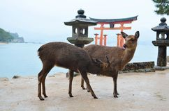 Deer on Miyajima Island Stock Photo