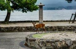 The deer of Miyajima Island in Hiroshima, Japan. Miyajima Island, Hiroshima, Japan, October 2017 Deer with Trees and stones royalty free stock photo