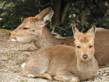 Deer at Momijidani Park, Miyajima Island, Hiroshima, Japan.  stock photo