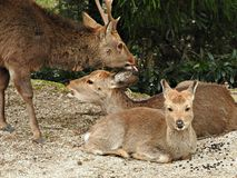 Deer at Momijidani Park, Miyajima Island, Hiroshima, Japan.  royalty free stock photo