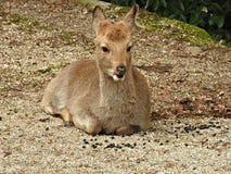 Deer at Momijidani Park, Miyajima Island, Hiroshima, Japan.  royalty free stock photography