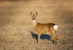 Deer in morning light Royalty Free Stock Photo