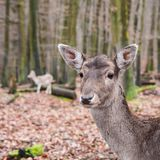 Deer mother and her fawn standing in the woods. Wildlife and environment concept.  royalty free stock photos
