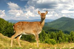 Deer on mountain background. In spring time stock photo