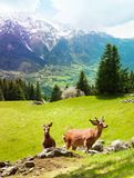 Deer on the mountain pasture Royalty Free Stock Photography