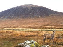 Deer and Mountain. This photo is shot in Scotland Royalty Free Stock Image