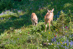 Deer Among Mountain Wildflowers. Two deer grazing in a meadow filled with various sub alpine wildflowers on the Myrtle Falls Trail near Paradise, Mount Rainer Stock Photos