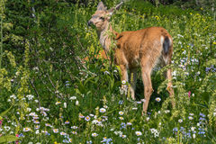 Deer among Mountain Wildflowers Stock Image