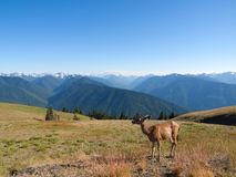 Deer in the mountains Royalty Free Stock Photography