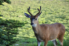 Deer in the Mountains Royalty Free Stock Photos