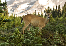 Deer in the Mountains Royalty Free Stock Photo