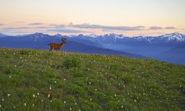 Deer, Mountains and meadows Hurricane Ridge, Olympic National Park. Sunset at Hurricane Ridge in the Olympic National Park, Washington state. A male blacktail Royalty Free Stock Image
