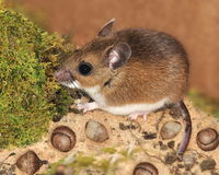 Deer Mouse (Peromyscus maniculatus) Royalty Free Stock Images