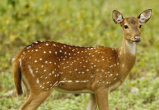 Deer. In mudumalai forest tamilnadu Royalty Free Stock Photos