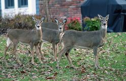 Deer In Suburban areas. Deer in my back yard in suburban,NJ. The Deer population has increase in the last decades and became a problem in urban and suburban royalty free stock photo