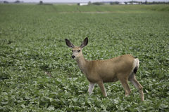 Deer in my Crop Stock Image