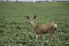 Deer in my Crop. A deer eating up a farmers crop Stock Image
