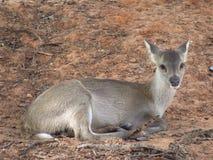 Deer. In the nakornratchasima zoo Royalty Free Stock Photos