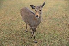 Deer at nana park Stock Image