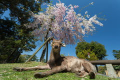 Deer is napping under blossom cherry tree. Nara, Japan Stock Image